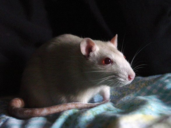 Do White Rats Make Good Pets